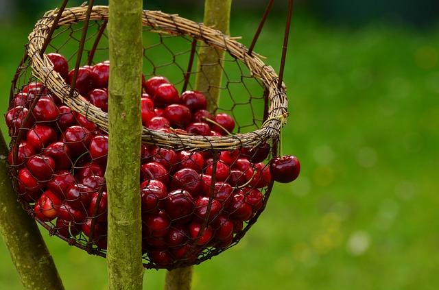 třešně v košíku