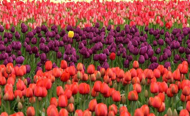 unikátní tulipány