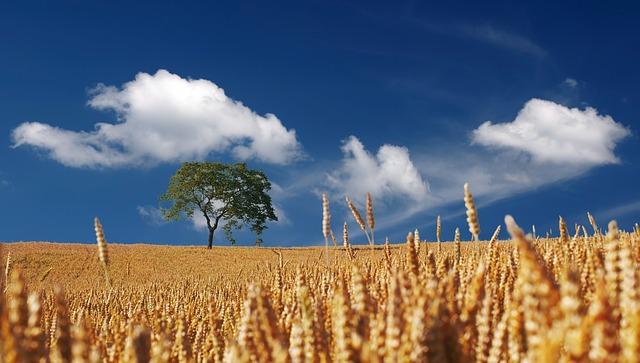 obilné pole