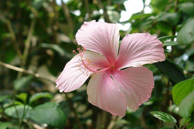 květina ibišek
