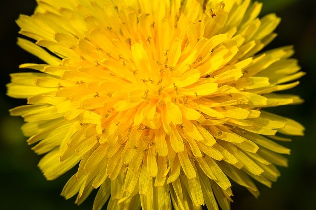květ pampelišky